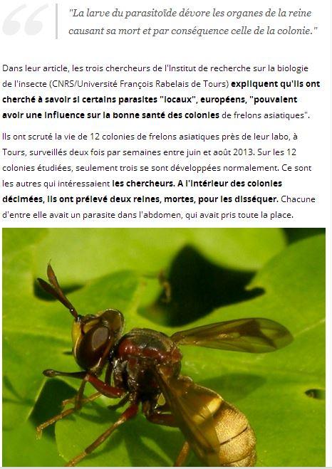 Le frelon asiatique bientot décimé par un nouvel insecte ? Frelon12