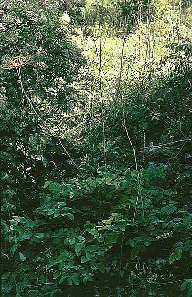 Laserpitium latifolium - laser à feuilles larges 389px-10