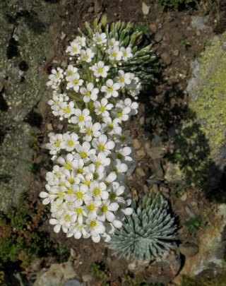 flore des vieux murs, rochers  et rocailles naturelles 61289011