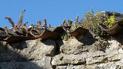 flore des vieux murs, rochers  et rocailles naturelles 73254210