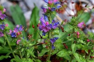 Les couleurs des fleurs Echium10