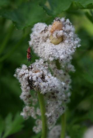 Anemone coronaria - graines d'anémone de Caen [devinette] Img_0911