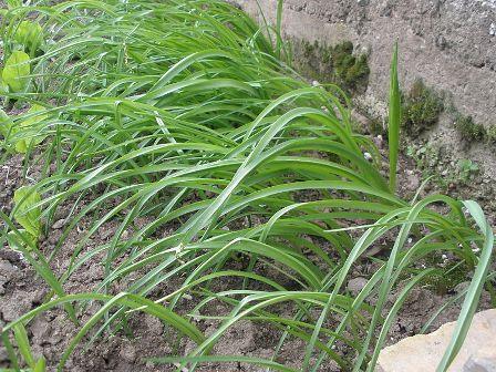 Allium siculum subsp. dioscoridis (= Allium bulgaricum) - ail de Bulgarie Izvora10