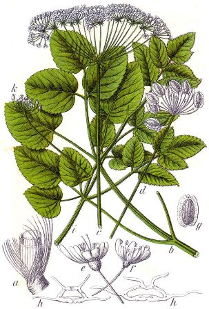 Laserpitium latifolium - laser à feuilles larges Laserp10