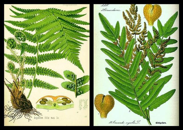 fougères ou filicophytes - présentation Pictur10