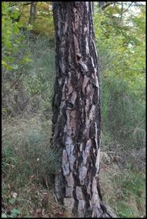 Pinus sylvestris 2 [devinette] Pin_sy10