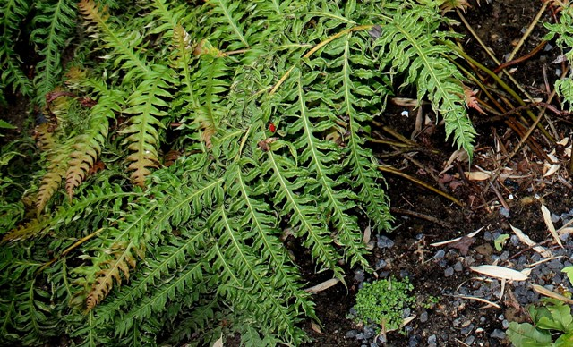 Woodwardia unigemmata - fougère à une gemme   Woodwa10