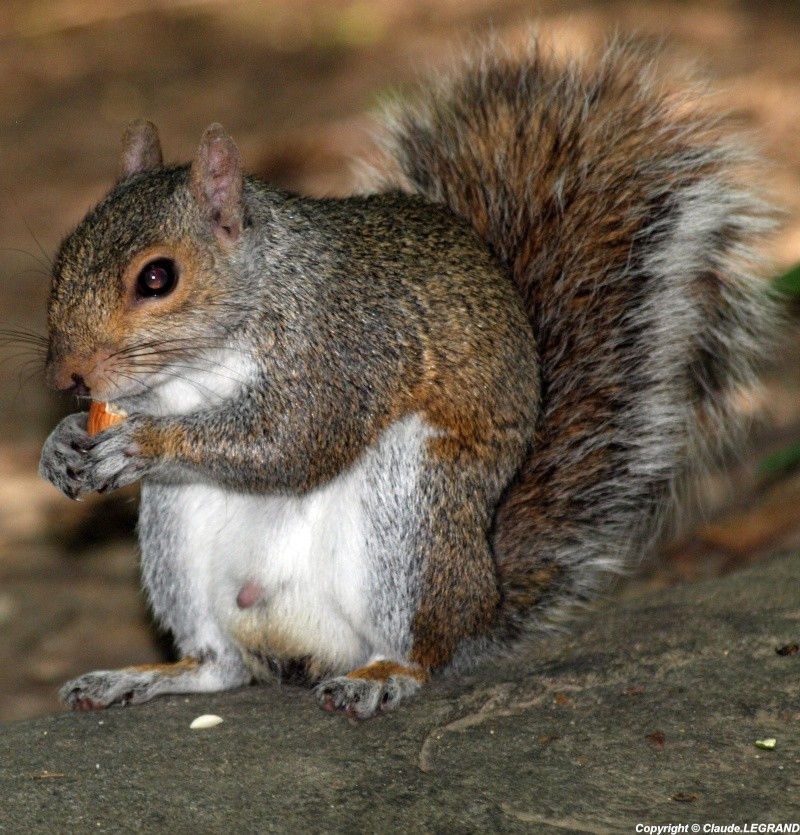 Ecureuil Central Park New York Ecureu11