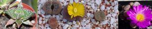 Questions autour des différentes plantes succulentes Caillo10