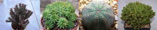 Questions autour des différentes plantes succulentes Euphor10