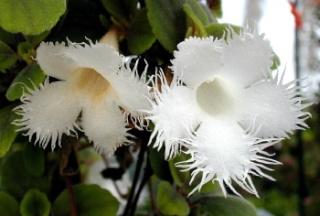 Alsobia  dianthiflora 1043110