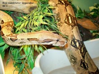 Photos Reptiles Bci1010