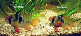 Paplichromis Ramirezi(par pyro) Mr_e_m10