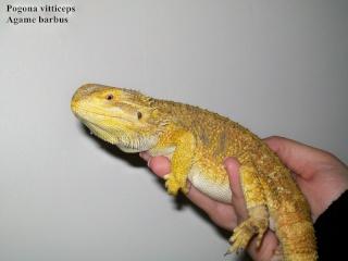 Photos Reptiles Pogona10