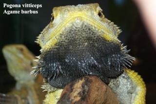 Photos Reptiles Pogona11