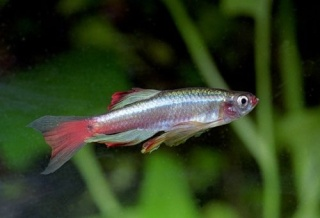 Tanichthys albonubes (par pyro) Tanich10