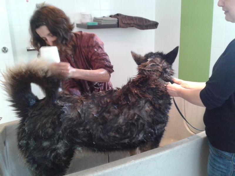 JASON beau x husky, noir et feu, ok congénères, pas ok chats  REFU29 - Page 2 10133310