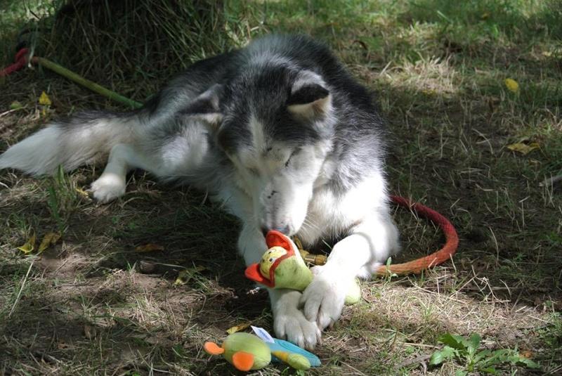 BLUE EYES  8ans, Husky sauvé de Roumanie ASSO65 - Page 2 10247311