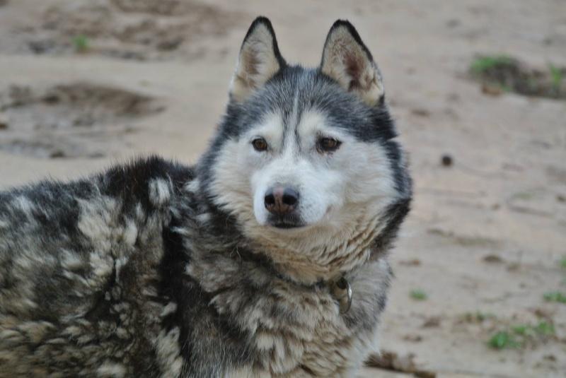 Theo husky 12 ans ok femelles pas de chats ASSO39 10258111