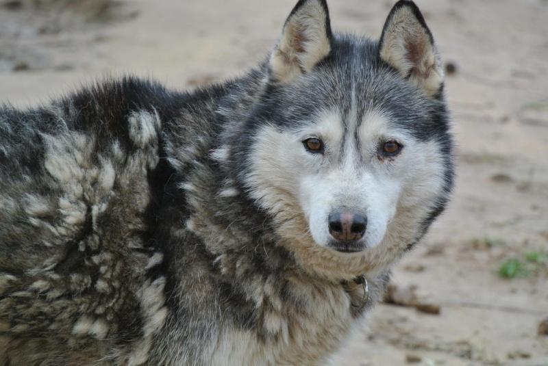 Theo husky 12 ans ok femelles pas de chats ASSO39 10265310
