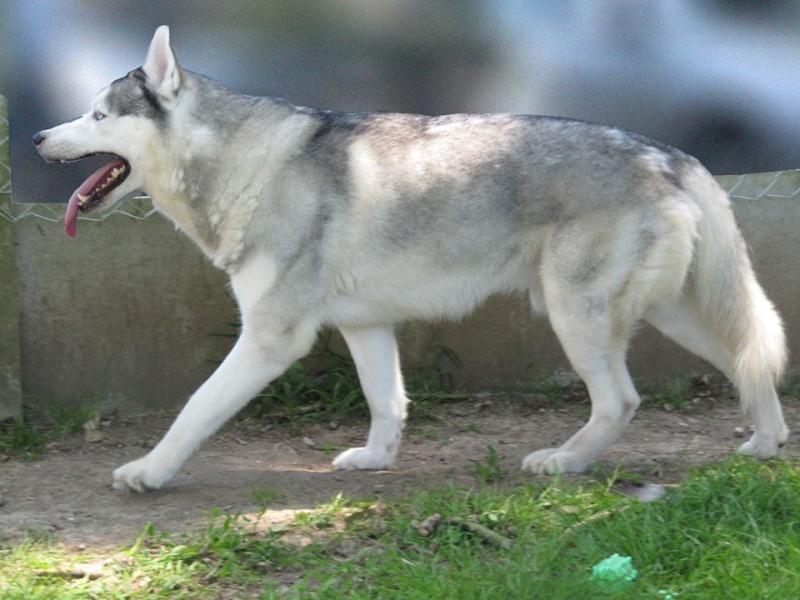 DIEGO HUSKY  (m) gris argenté  Né le 14/12/2008/  REFU76 URGENT  DECEDE 10341410