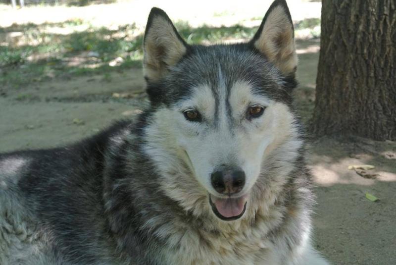 Theo husky 12 ans ok femelles pas de chats ASSO39 10373710