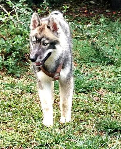 Inca chienne perdue URGENT couleur gris loup avec les yeux bleus 5 mois 971DECEDEE 10406810