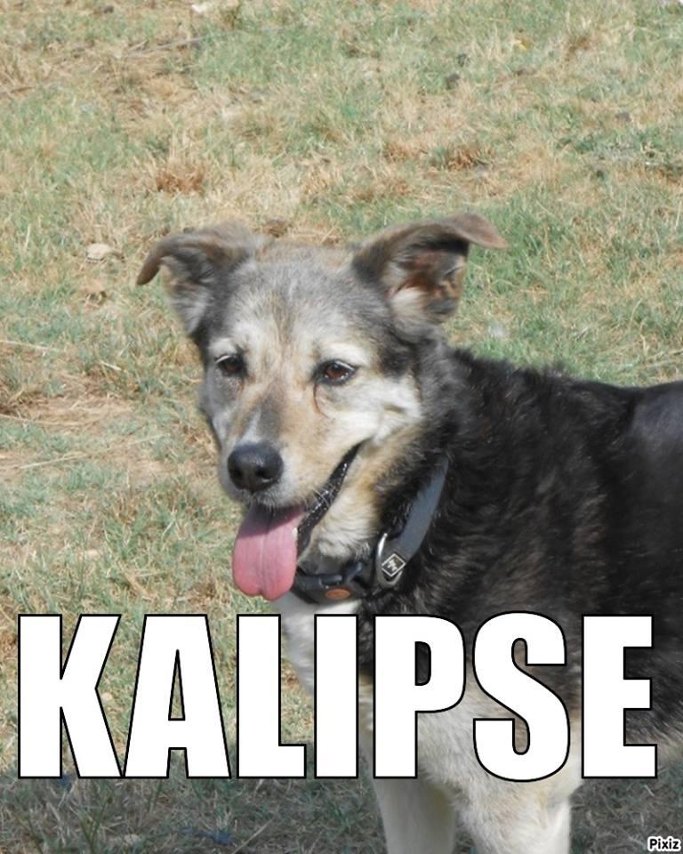 KALIPSE x Berger, très affectueuse sociable ASSO65 EDEN VALLEE DECEDEE 10414412