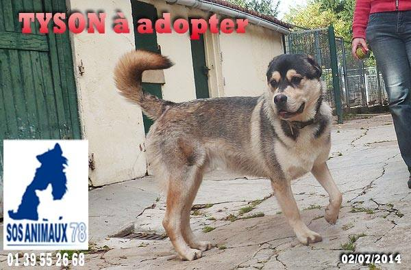 TYSON x husky  labrador né 11/2012/ sociable joueur équilibré  REF78 ADOPTER 10432910