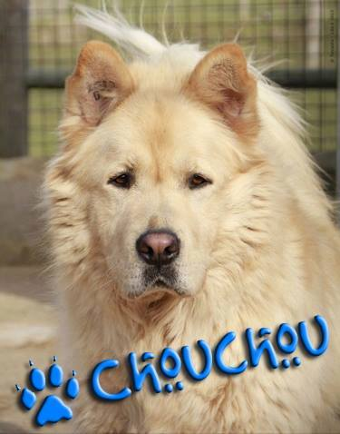CHOUCHOU, type x chow-chow, (m ))  01/05/2007/ - LDAS  REF(72) 10462611