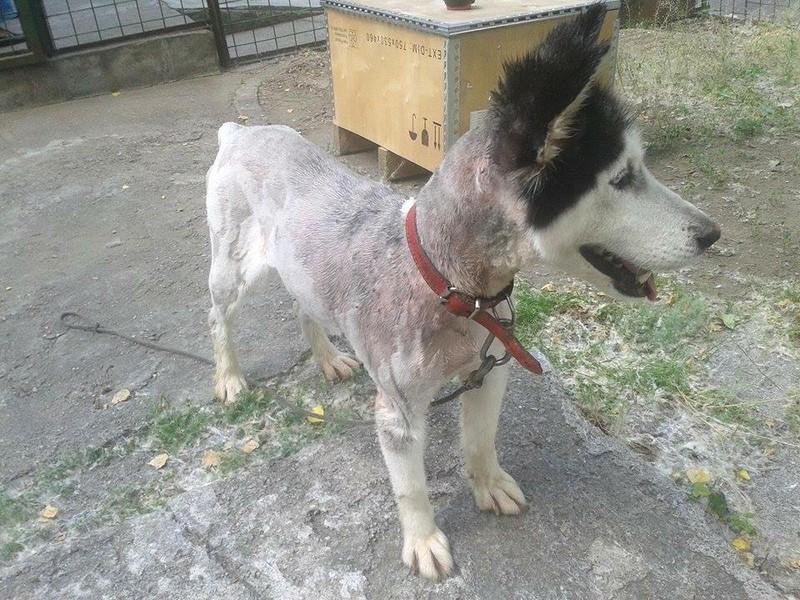 LUNA Husky 4/5 ANS pas ok chien URGENCE ROUMANIE  ADOPTEE 10487210
