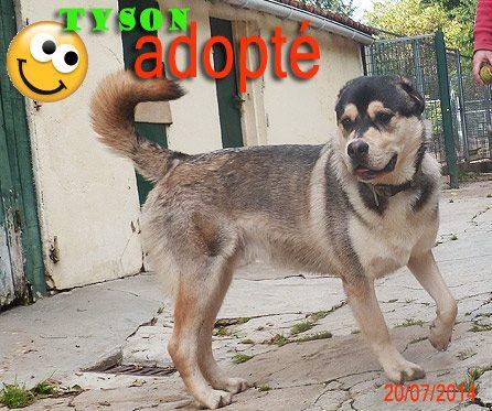 TYSON x husky  labrador né 11/2012/ sociable joueur équilibré  REF78 ADOPTER 10492410