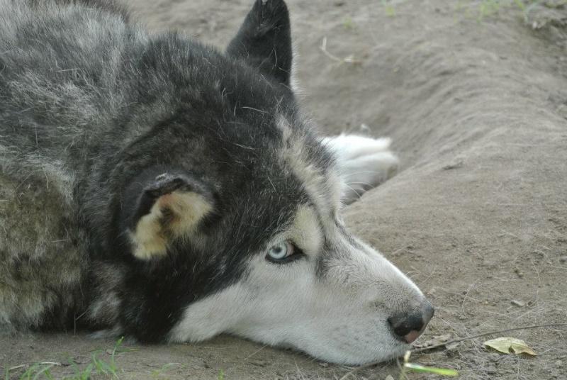 Togo, husky gris né le 25 Octobre 2002 ASSO39 - Page 2 10540510