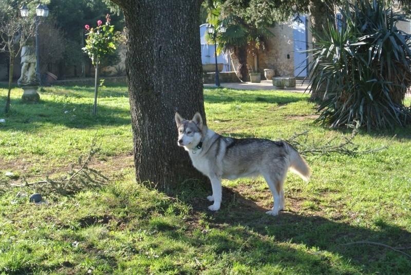 SHASTA, Husky (f) 2 ans sauvée de Roumanie ASSO26  ADOPTEE 10580710