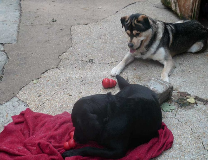 TYSON x husky  labrador né 11/2012/ sociable joueur équilibré  REF78 ADOPTER 10626610