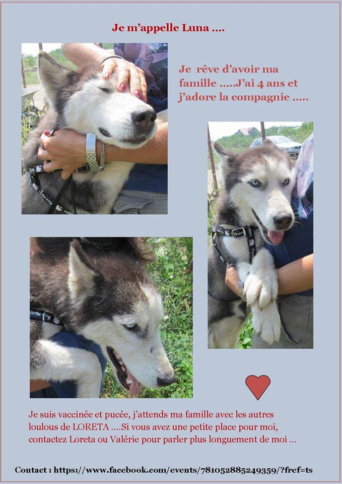 LUNA Husky 4/5 ANS pas ok chien URGENCE ROUMANIE  ADOPTEE 10630710