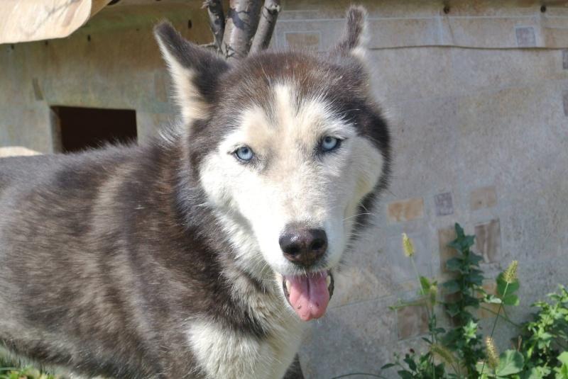 LUNA Husky 4/5 ANS pas ok chien URGENCE ROUMANIE  ADOPTEE 10668910