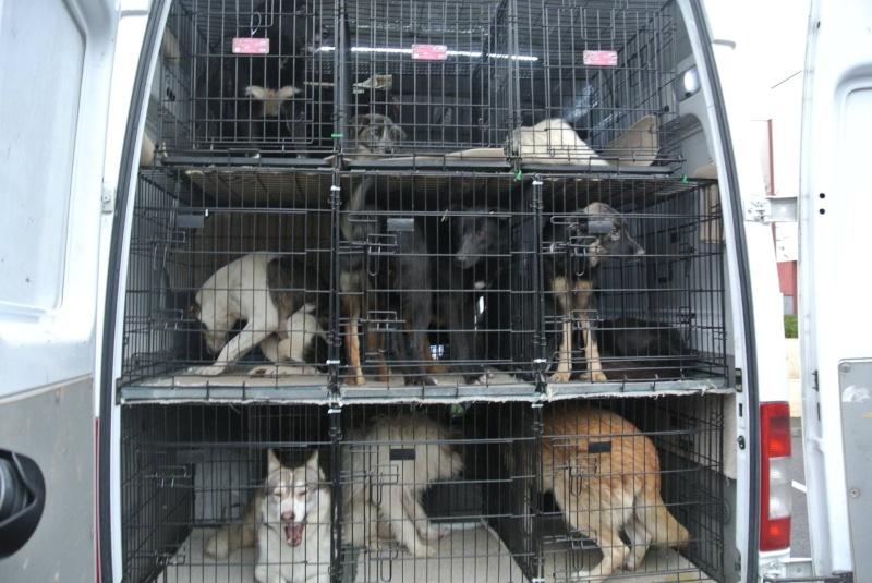 SHASTA, Husky (f) 2 ans sauvée de Roumanie ASSO26  ADOPTEE 10682410