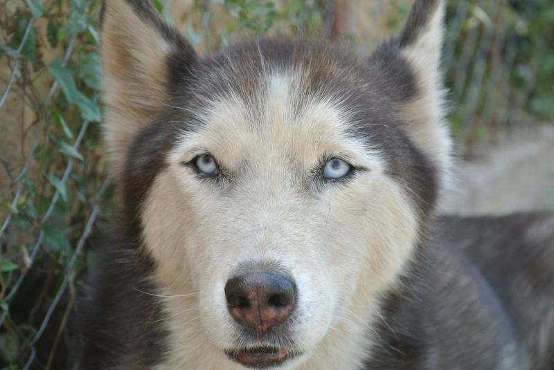 LUNA Husky 4/5 ANS pas ok chien URGENCE ROUMANIE  ADOPTEE 10708611