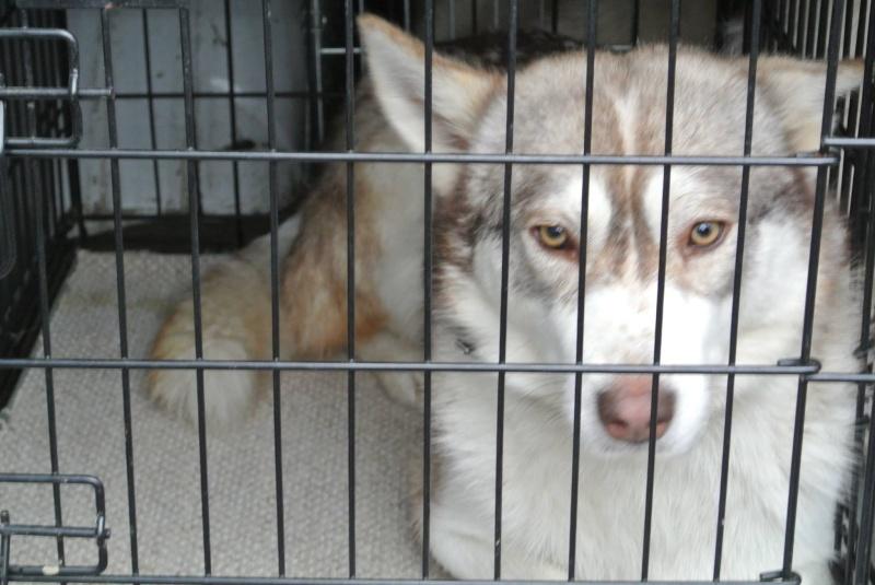 SHASTA, Husky (f) 2 ans sauvée de Roumanie ASSO26  ADOPTEE 10838010