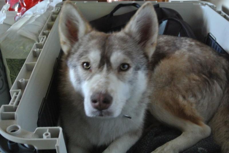 SHASTA, Husky (f) 2 ans sauvée de Roumanie ASSO26  ADOPTEE 10847410