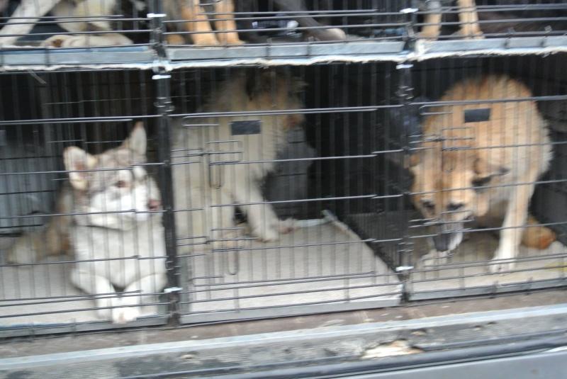 SHASTA, Husky (f) 2 ans sauvée de Roumanie ASSO26  ADOPTEE 10857212