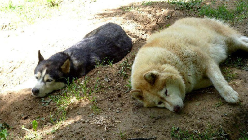 Togo, husky gris né le 25 Octobre 2002 ASSO39 - Page 3 15111710