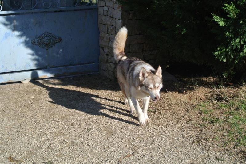 SHASTA, Husky (f) 2 ans sauvée de Roumanie ASSO26  ADOPTEE 16021610
