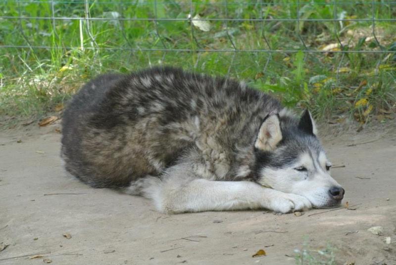 Theo husky 12 ans ok femelles pas de chats ASSO39 19196512