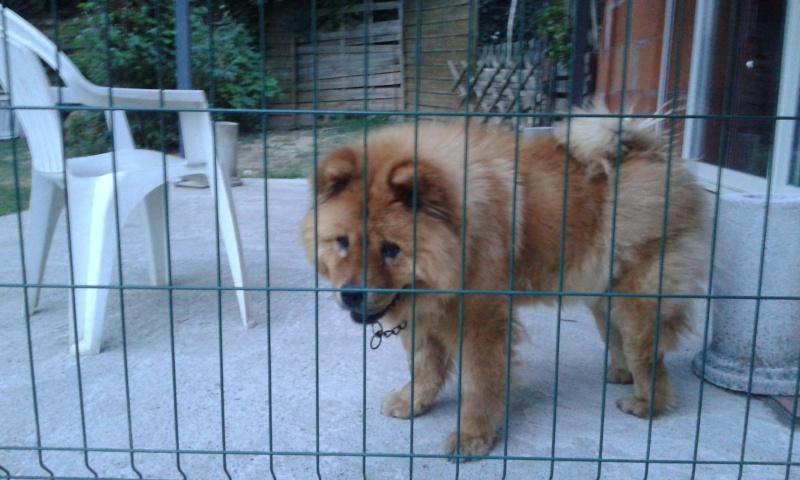 Gerchi, Chow chow (f) 8 ans sauvée d'un mouroir en Espagne ASSO77 ADOPTEE 20140613