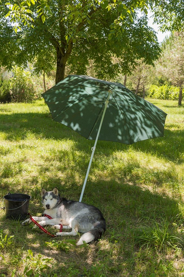 BLUE EYES  8ans, Husky sauvé de Roumanie ASSO65 - Page 2 Blue_e10