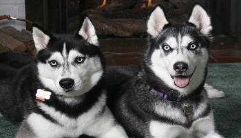 Pour les retraits définitifs des 7 huskies de St Avold Petiti10