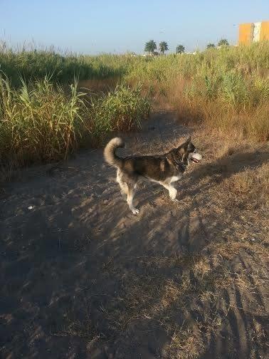 Rubia husky sauvée de l'euthanasie,PAS DE CHATS  NEE 12/2005/REFU ESPAGNE  ADOPTEE - Page 6 Sans-t28