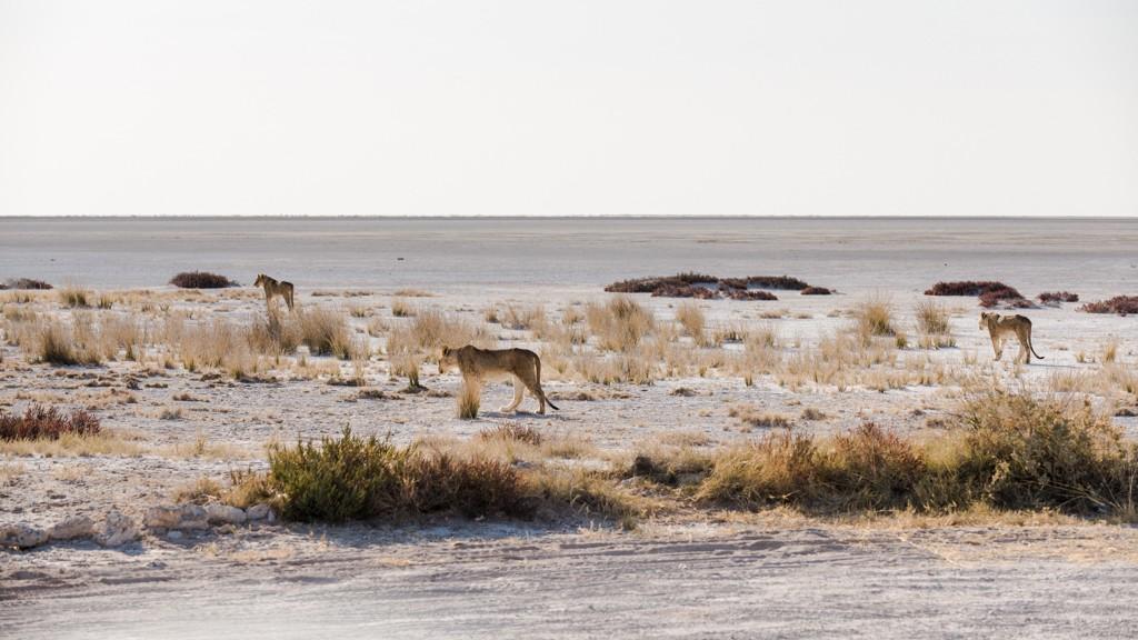 Jeunes lions (correction et MAJ) _dsc1710